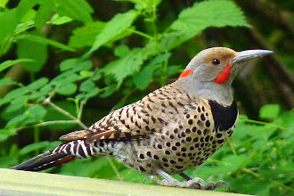 Photo: Red-shafted Northern Flicker is a member of the woodpecker family. Males have a red moustache: http://www.allaboutbirds.org/guide/northern_flicker/id