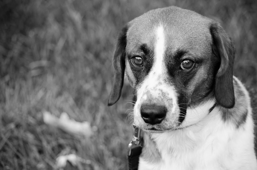 Those Eyes by Hugo Hentoff - Animals - Dogs Portraits ( blackandwhite, bw, puppy, cute, dog, portrait )