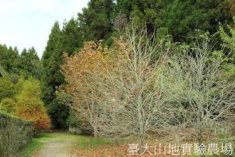 Photo: 拍攝地點: 梅峰-一平臺 拍攝植物: 英國梧桐 拍攝日期:2012_10_28_FY