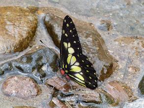 Photo: YELLOW-DOTTED (SISAMNUS) DARTWHITE--RIO CHALUAYACU, NAPO