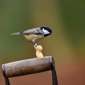 I found a nut by David Cozens - Animals Birds ( bird, coal tit, shovel, spade )