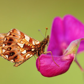 Violet Fritillary by Adem Yağız - Animals Insects & Spiders ( butterfly, violet fritillary )