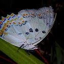 White Nawab Butterfly