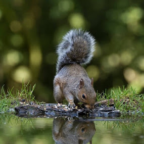 Squirrel looking at its Reflection. by Richard Adams - Animals Other Mammals ( tamron 150-600mm, water, reflection, feeding, wildlife, amateur, gray, bokeh, squirt, nature, bushy, grey, nikon, squirrel,  )