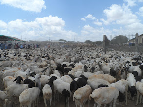 Photo: The animal market was busy because Hajj is 20 days away, so Somaliland is selling lots and lots of sheep to Saudi Arabia