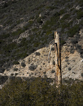 Photo: Acorn Woodpecker granary and nest tree, Bearpaw Preserve, Southern California