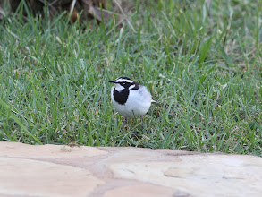 Photo: Pied Wagtail at Ngiri house.