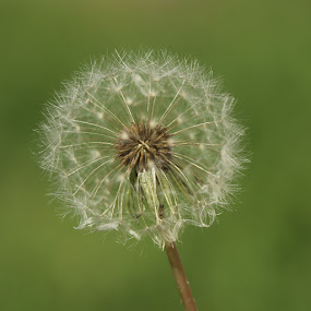 Dandelion by Kirsten Evans - Nature Up Close Gardens & Produce