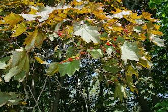 Photo: Acer остролистный - Клен платановидный (краснолистная форма)