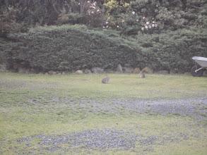 Photo: Pour la 2ème année consécutive nous restons dans le gite de Colette pas très loin du Mont St. Michel avec un accueil toujours formidable et un cadre très champêtre -- ici des lapins (sauvages) dans le jardin.