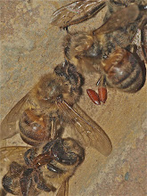 Photo: Dead honey bees and zombie fly pupae
