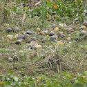 Island Apple Snails