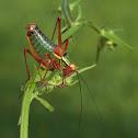 Common Saw Bush-cricket