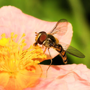 Helianthemum 'Salmon Queen' with hoverfly.JPG