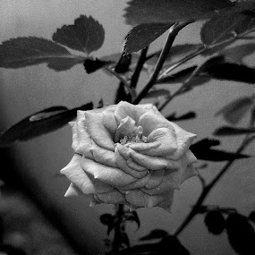 Black&White Rose by Erl de Jose - Black & White Flowers & Plants ( plant, rose, black and white, nature close up, flower,  )