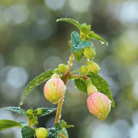 by Jane Bjerkli - Flowers Flower Buds