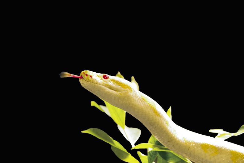 Pitone Albino di Erre-Gi