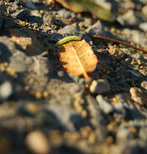 Photo: Requirements 2 & 3 (midground focus & bugs): This bright green caterpillar (?) was carefully making its way across a gravel path. Focus is on midground with blurry elements in front of and behind the bug and leaf. Post-processing: cropped.