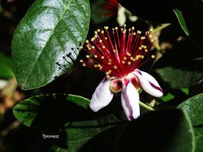 Photo: Guava Tony Provenzano