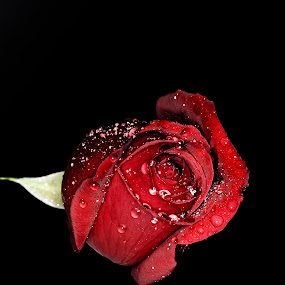 Be My Valentine 02 by Biswajit Chatterjee - Nature Up Close Flowers - 2011-2013 ( love, rose, red rose, valentine, flower )