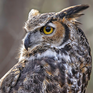 Great Horned-1-2.jpg