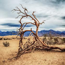 Mesquite by Richard Michael Lingo - Nature Up Close Trees & Bushes ( close-up, nature, tree, mesquite, california,  )