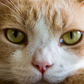 29032017_2521 by Deborah Bisley - Animals - Cats Portraits ( cat, ginger, pink nose, white, yellow, feline, yellow eyes, eyes,  )
