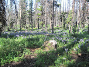 Photo: Lupine at the Tiffany Springs National Forest Campground