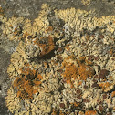 Rim Lichen