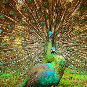 peacock by Fiqih al Aziz - Animals Birds