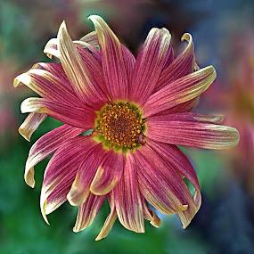 Pink Splendour by Diana Postill - Nature Up Close Flowers - 2011-2013 ( macro, nature, art, pink, flower, closeup )