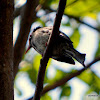 black bulbul , Himalayan black bulbul