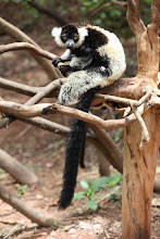 Photo: Lémur Vari noir et blanc