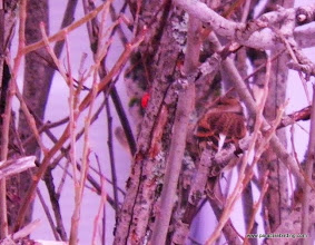 Photo: Cryptic shot of a Brambling in a Seward neighborhood