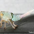 Issid Planthopper nymph