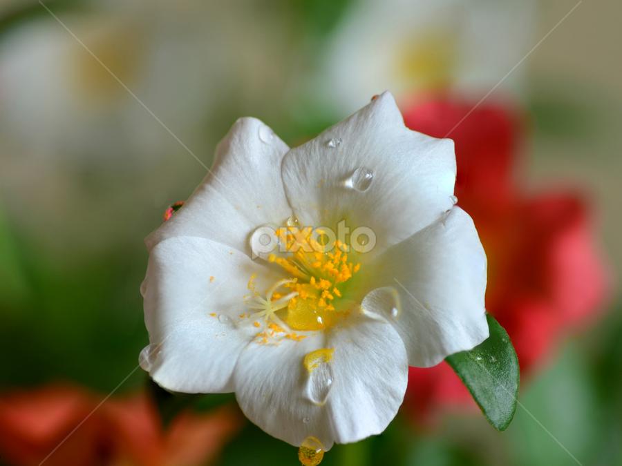 White Beauty by Dibyendu Banik - Novices Only Flowers & Plants ( white, flower )