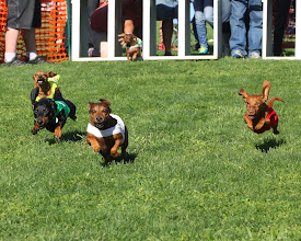 Photo: Wiener dogs race to the finish at Turf Paradise. Photo by Coady Photography