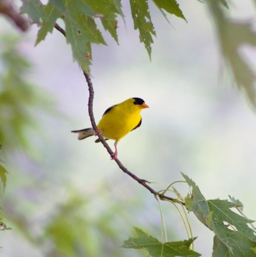 Goldfinch by Karen Beasley - Animals Birds (  )