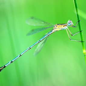 Spreadwing Damselfly by Srini Tsr - Animals Insects & Spiders