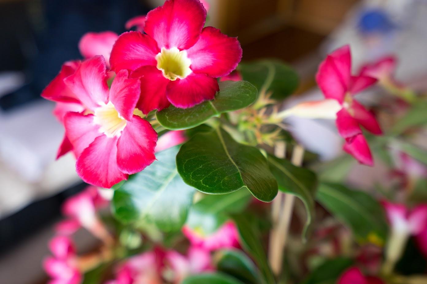 濃い赤色の花