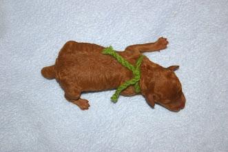 "Photo: grünes Halsband: Zwergpudelrüde apricot ""Huckleberry Finn vom Ronthaler Gütl"" 1 Tag alt"