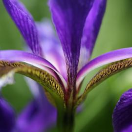 IRIS by Michael Schwartz - Flowers Single Flower (  )