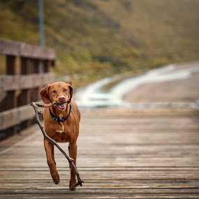 Chase by Mike Svach - Animals - Dogs Playing ( playing, stick, pet, dog, running )