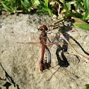 Variegated meadowhawk mating