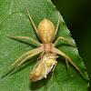 Running Crab Spider with Prey