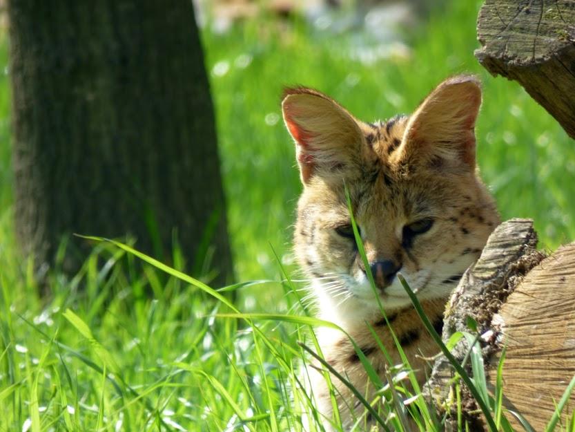 Sadji, femelle serval