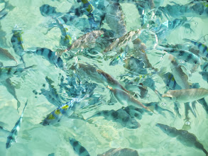 Photo: You get to see many fish when people feed them (which is not allowed)