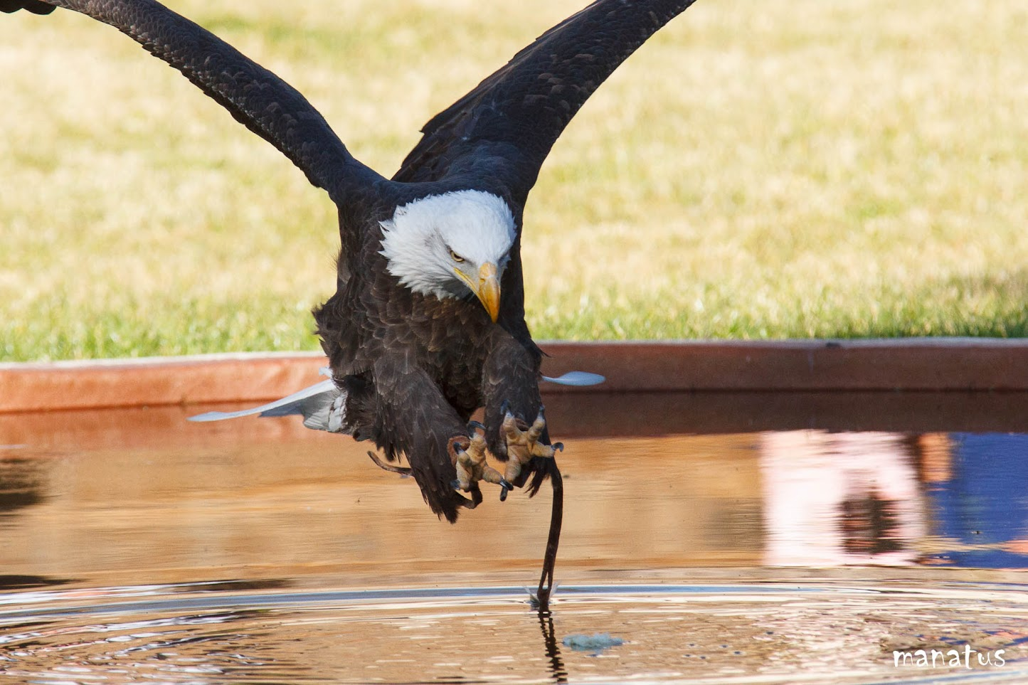 manatus águila calva