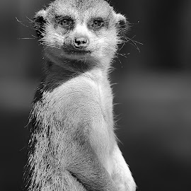 Meerkat by Gérard CHATENET - Black & White Animals