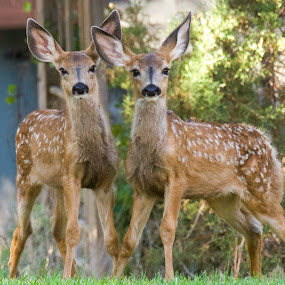 Brothers by Dan Kinghorn - Animals Other ( baby deer, fawns, bambi, mule deer fawns, fawn, mule deer )